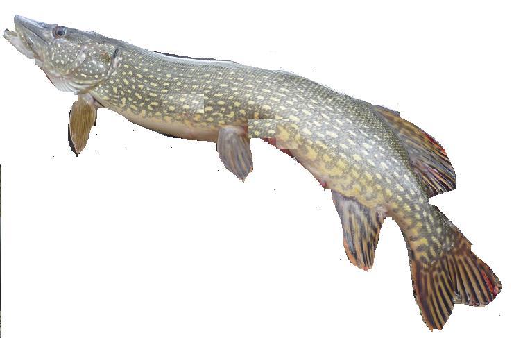 Hecht - ein toller Fisch